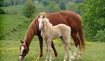 """45 мин. конна езда с водач само за 16 лв. в конна база """"София – Юг"""", Драгалевци"""
